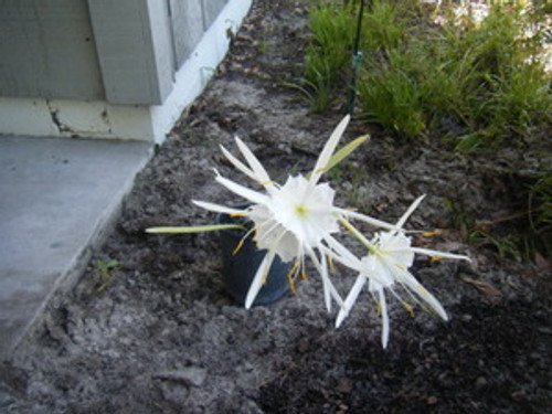 Hymenocallis occidentalis Spider Lily 1gallon SOLD OUT