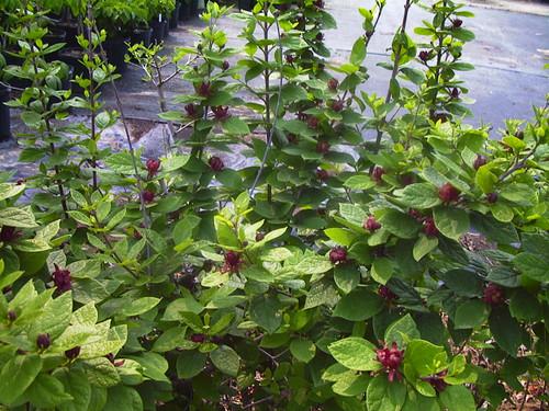 Calycanthus floridus Sweetshrub 1gallon