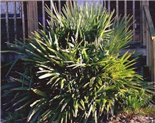 Rhapidophyllum hystrix Needle Palm 1gallon