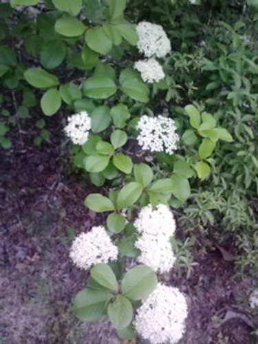 Viburnum rufidulum Rusty Blackhaw 3gallon