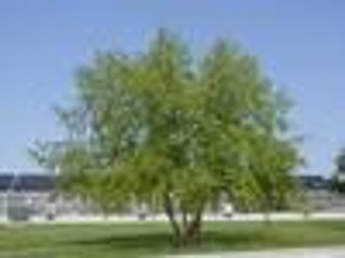 Betula nigra River Birch 1gallon