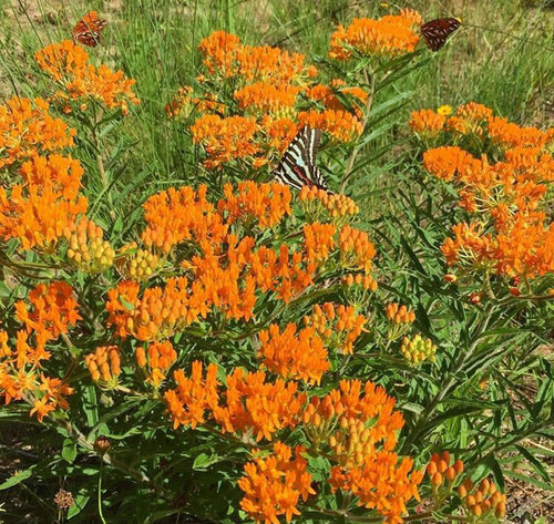 Asclepias tuberosa Butterfly Milkweed pints