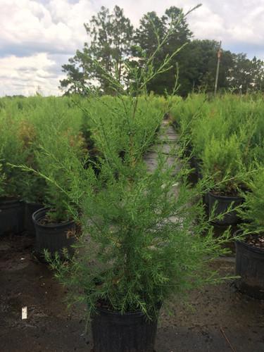 Juniperus virginiana var. silicicola (Southern Redcedar)