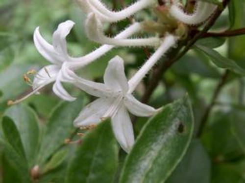 Rhododendron viscosum Swamp Azalea 1gallon