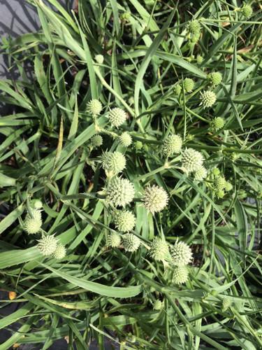 Eryngium yuccifolium Rattlesnake Master