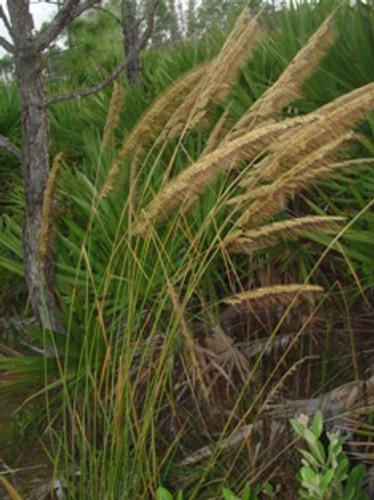 Sorghastrum secundum Lopsided Indian Grass