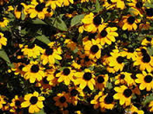 Rudbeckia triloba (Brown Eyed Susan) 1gallon