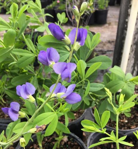 Baptisia australis Blue False Indigo 1gallon