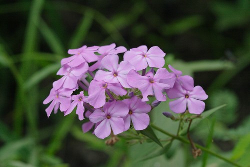 "Phlox carolina Carolina Phlox 4"" pot"