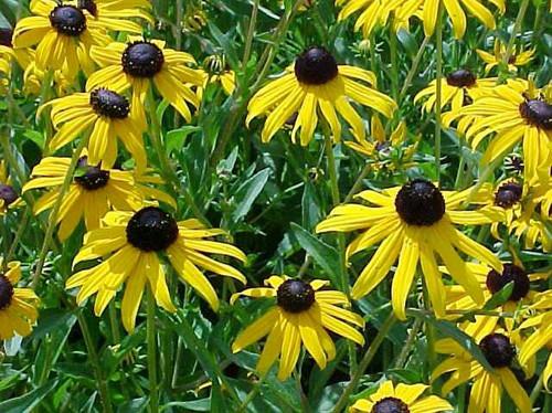 Rudbeckia fulgida (Black eyed Susan Orange Coneflower) pints