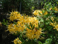 Rhododendron austrinum Pure Yellow