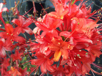 Rhododendron flammeum Mallory 1gallon SOLD OUT
