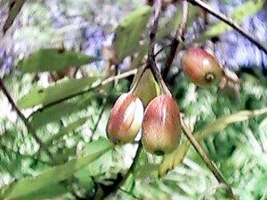 Female in fruit