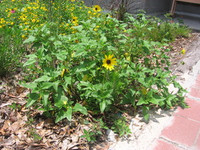 Helianthus debilis Dune Sunflower 1gallon