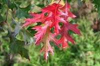 Quercus coccinea Scarlet Oak  3gallon