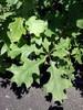 Quercus shumardii Shumard Oak