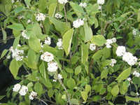 Callicarpa americana Beautyberry WHITE 1gallon
