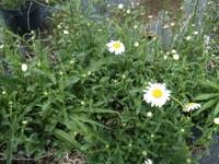 Chrysanthemum leucanthemum Oxeye Daisy