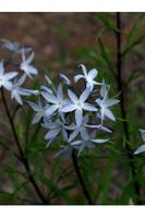 Amsonia ciliata Blue Star 1 gallon