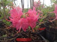 Rhododendron flammeum Magenta