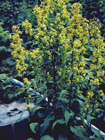 Solidago erecta (Showy Goldenrod) 1gallon