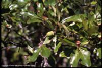 Quercus durandii Durand Oak 1gallon SOLD OUT