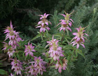 Monarda punctata Dotted Horsemint/Spotted Beebalm 1gallon