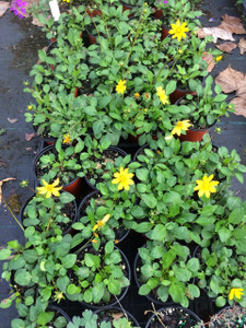 Coreopsis auriculata pint size