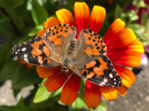 American Painted Lady on Zinnia 'Sombrero'.