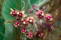 California Milkweed Seed Packet