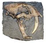 Smilodon Fatalis: Pleistocene Epoch - Photo Museum Store Company