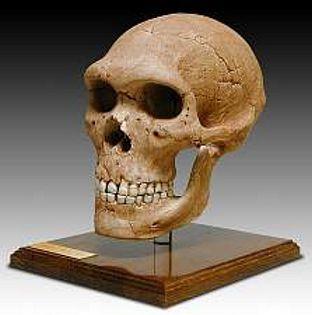 Neanderthal Skull (Homo neanderthalensis) Pleistocene Epoch - Photo Museum Store Company