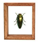"Caliopistus Castelnaudi - 6"" x 5"" : Beetle Specimen Framed - Photo Museum Store Company"