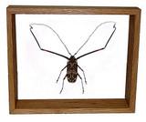 "Acrocinus Longimanus - 10"" x 12"" : Beetle Specimen Framed - Photo Museum Store Company"