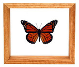 "Monarch - 6"" x 7""  : Butterfly Specimen Framed - Photo Museum Store Company"