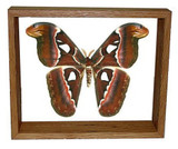 "Attacus Atlas Moth - 10"" x 12""  : Moth Specimen Framed - Photo Museum Store Company"