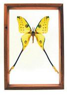 "Argema Mittrei - 13"" x 9""  : Moth Specimen Framed - Photo Museum Store Company"