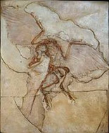 Archaeopteryx lithographica (Bird Fossil Reproduction) - Late Jurassic Period - Photo Museum Store Company