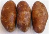 Russet  Potato 1
