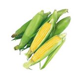 Fresh Corn - ea.