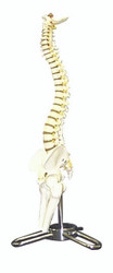 Human Skeleton Spinal Column Model
