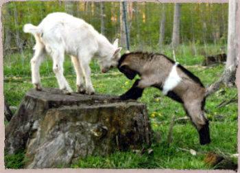 king-of-the-mountain-goat-kids.jpg