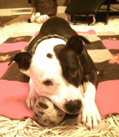 Black and white pitbull mix with organic wool dog ball