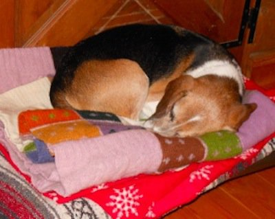 Beagle pup sleeping on brightly colored cozy wool pet blanket