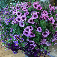 A Hanging Garden Basket (mixed variety)