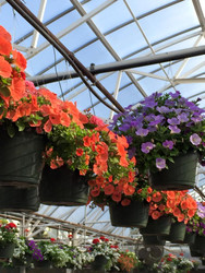 Hanging Garden Baskets (mixed variety)