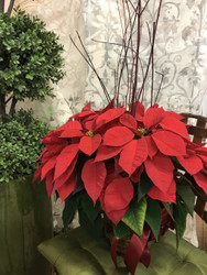 Poinsettia Plant (6 inch grower pot)