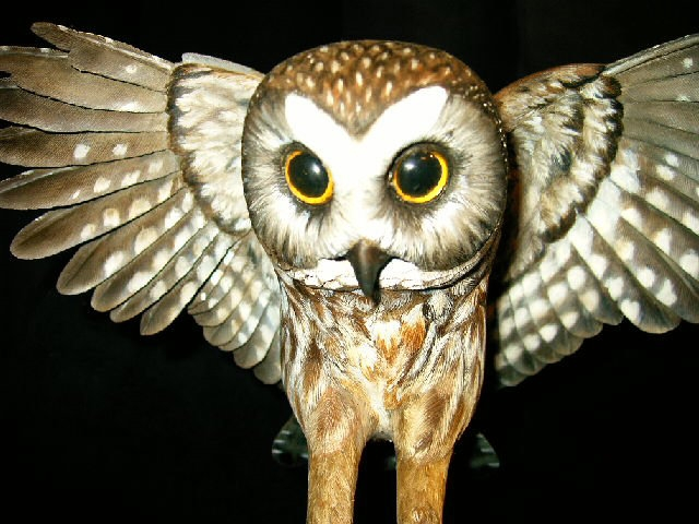 saw-whet-owl-1.jpg
