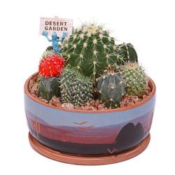Cactus Garden - 6.5 inch