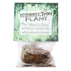 Miracle Fern Resurrection Plant